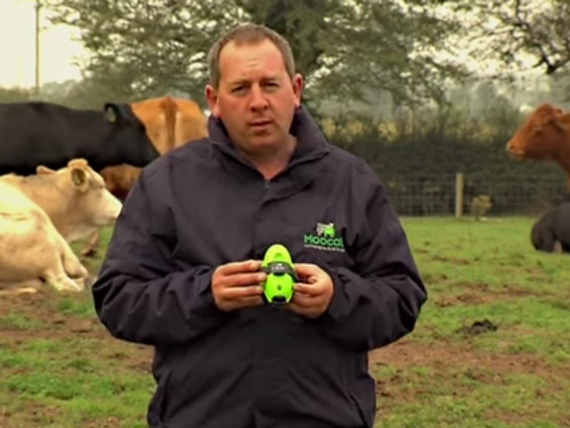 Irish-designed sensor tells farmers when cows are ready to calve