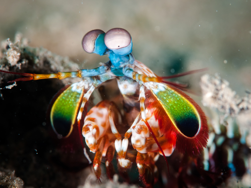 Mantis shrimp eyes inspiring new cancer-detecting cameras