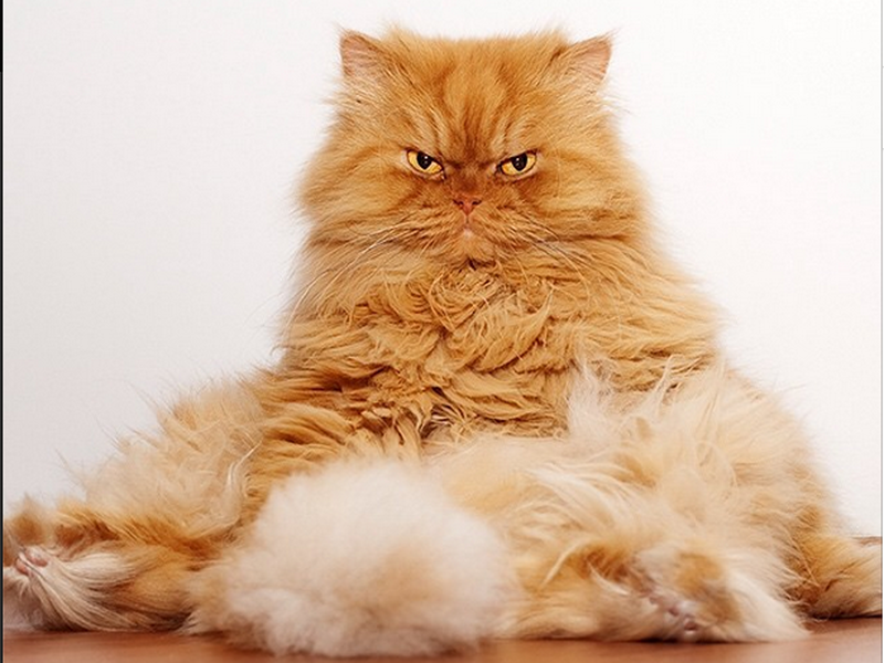 Gigglebit: angry cat Garfi is the internet's new favourite feline