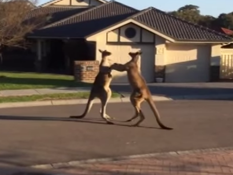 Viral videos of the week: Carlton dance, kangaroo boxing and NASA's Orion