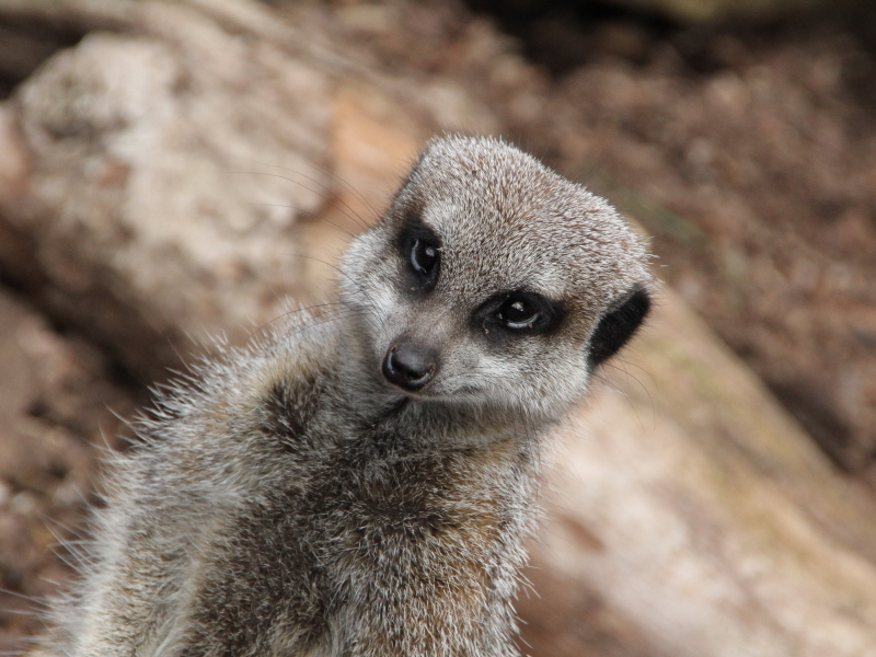 Compare the meerkat – Irish tech and TV whitespaces help Google and London Zoo