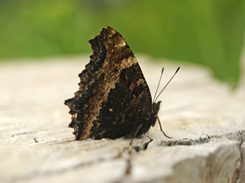 Rare species of butterfly spotted in Britain for the first time in 60 years