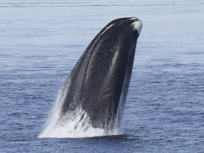 Bowhead whale genes provide clues to longevity and health