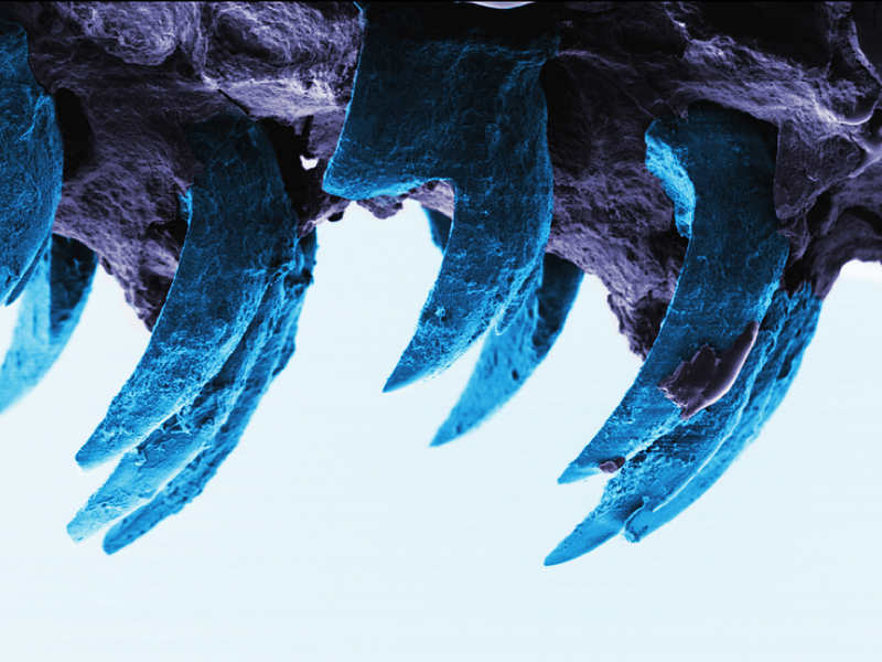 Move over spider silk, a limpet's tooth is now nature's strongest material