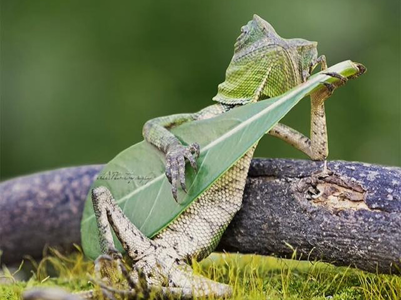 Gigglebit: The leaf-guitar playing lizard that's cooler than all of us