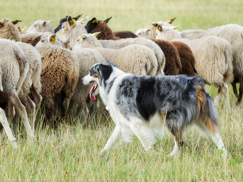 Shep the sheepdrone could soon be putting sheepdogs out of work (video)