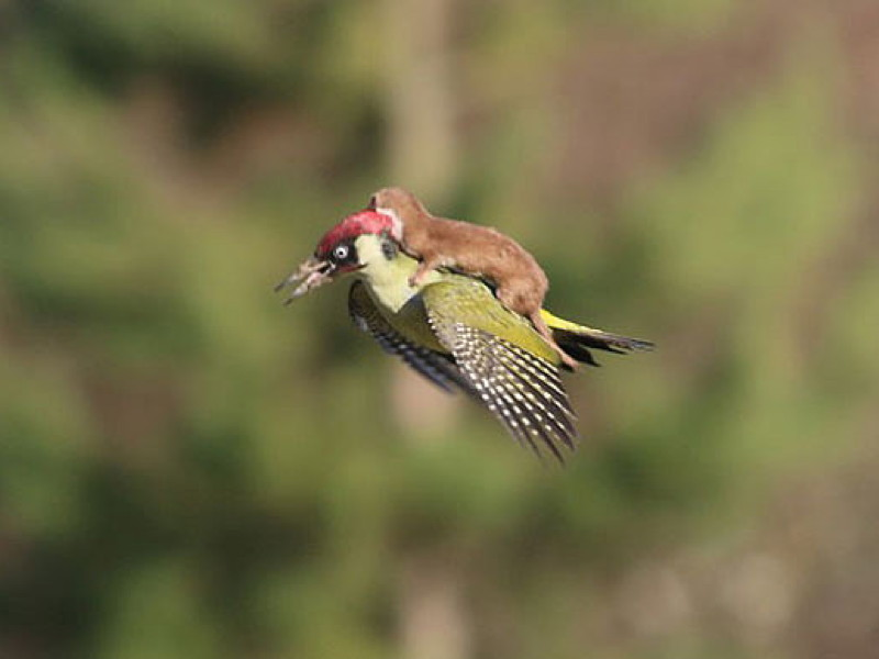 Weasel rides woodpecker in photo and memes take off, too