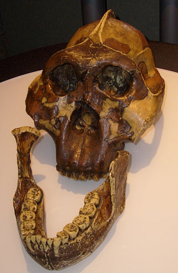Replica of an Australopithecus boisei skull discovered by Mary Leakey in Olduvai Gorge, Tanzania, in 1959. Image via Wikimedia Commons
