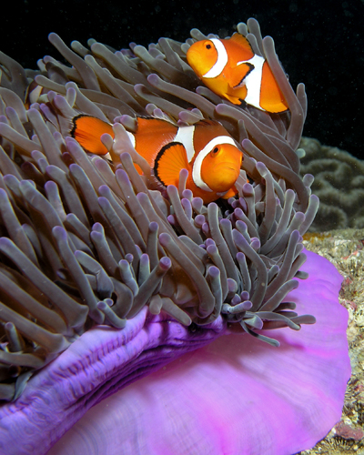 Purple anemone and anemonefish, also known as clownfish in East Timor. Image credit: Wikimedia Commons