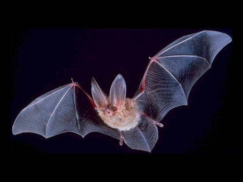 A Townsend's big-eared bat. Its average lifespan is 16 years, but bats may live up to 30 years. Such bats are not intrinsic to Ireland. Image credit: Wikimedia Commons