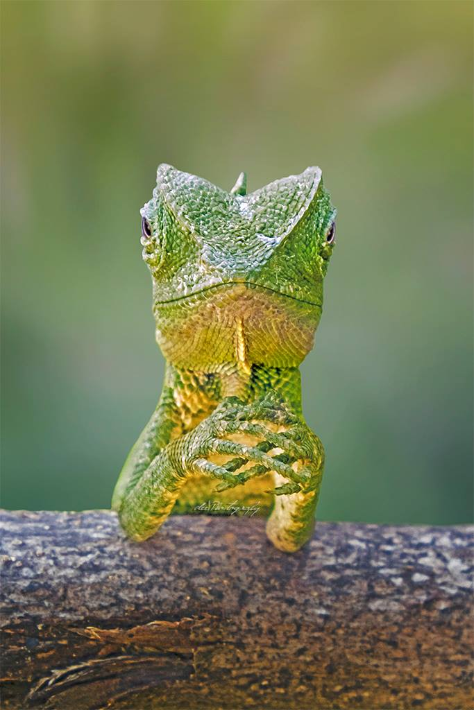 Lizard with hands in prayer