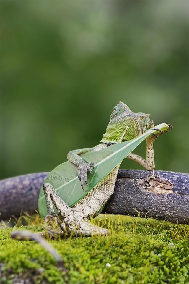 Lizard playing guitar