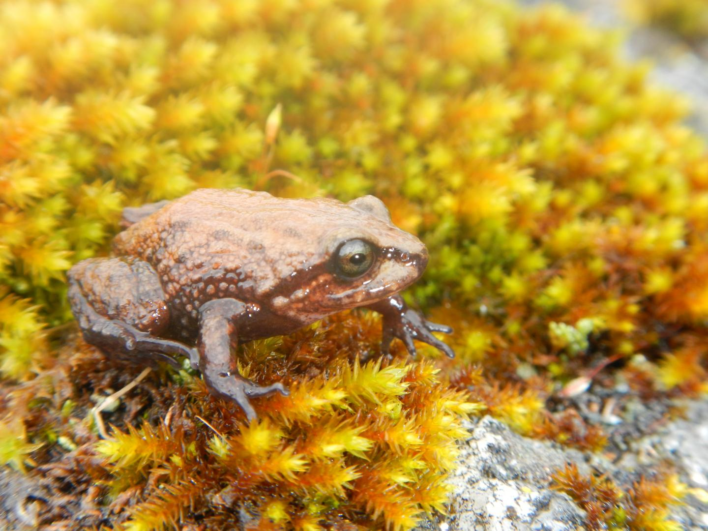 Attenboroughi frog