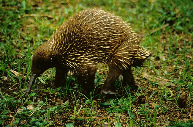 A long-beaked echidna species named after David Attenborough
