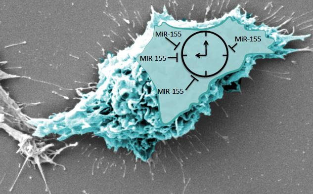 Within an activated macrophage, miR-155 stops the clock by targeting the main clock protein, BMAL1. (Image credit: M. Haneklaus, 2015)