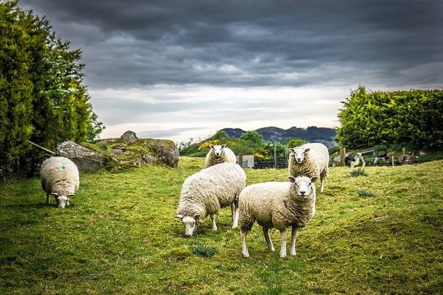 Sheep in an Irish field