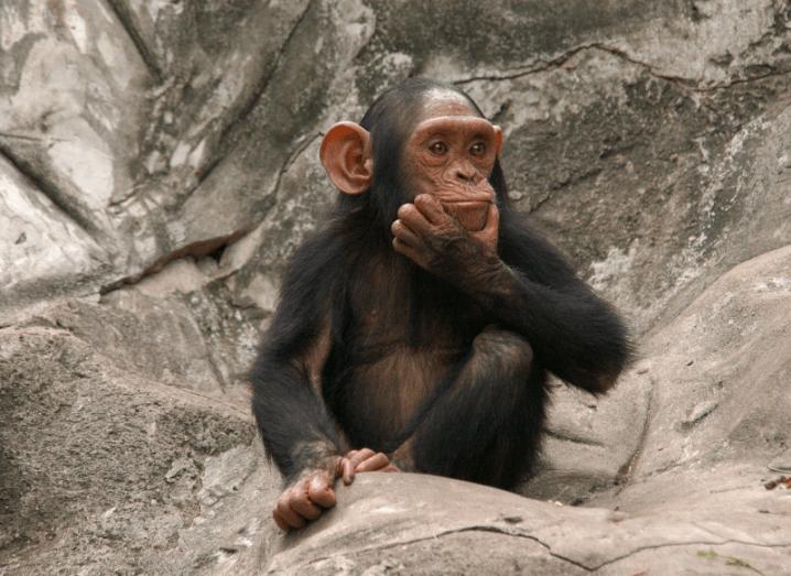 Quizzical Chimp