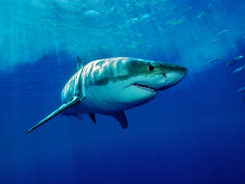 Great white shark joins Twitter and becomes an online star