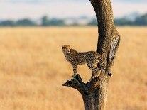 Robot cheetah sticks the high jump