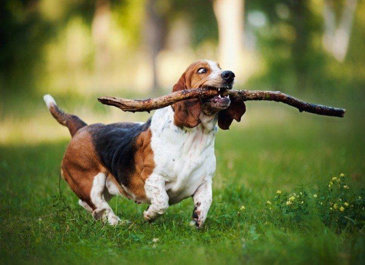 Hound running with stick