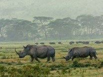 Rhino horn made in lab could prevent slaughter of rhinos