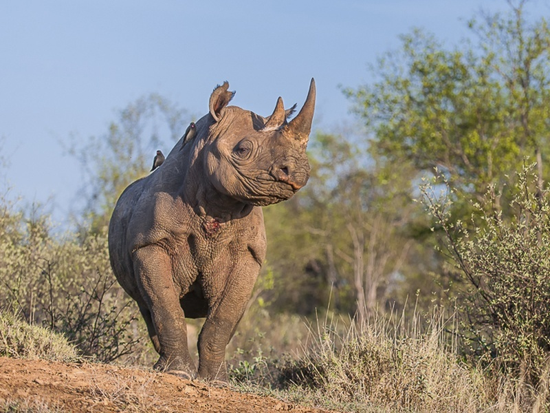 Scientists successfully crowdfund black rhino genome project