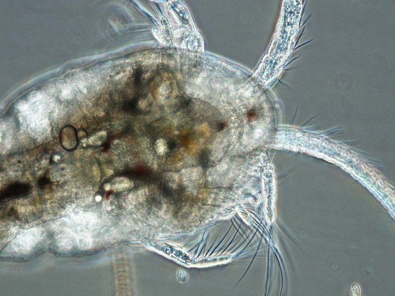 Plankton have been filmed eating plastic, meaning we now eat it too