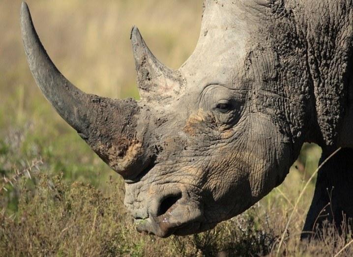 Rhino horn camera black rhino