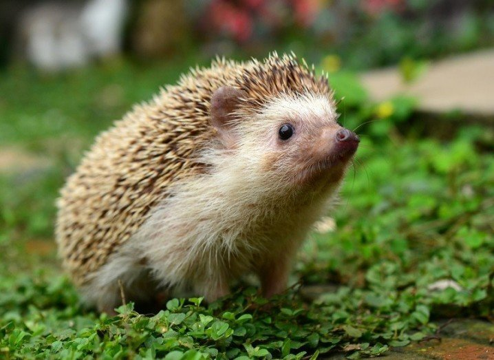Viral videos baby hedgehog