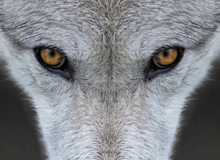 Wolf eyes | Yellowstone wolves