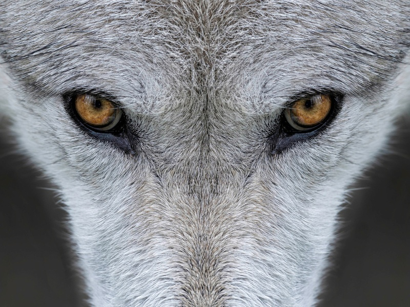 Meet Doug, the wolf watcher of Yellowstone National Park