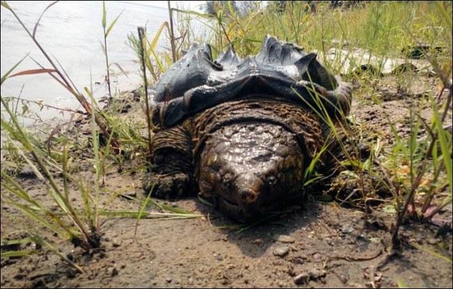 Dinosaur turtle