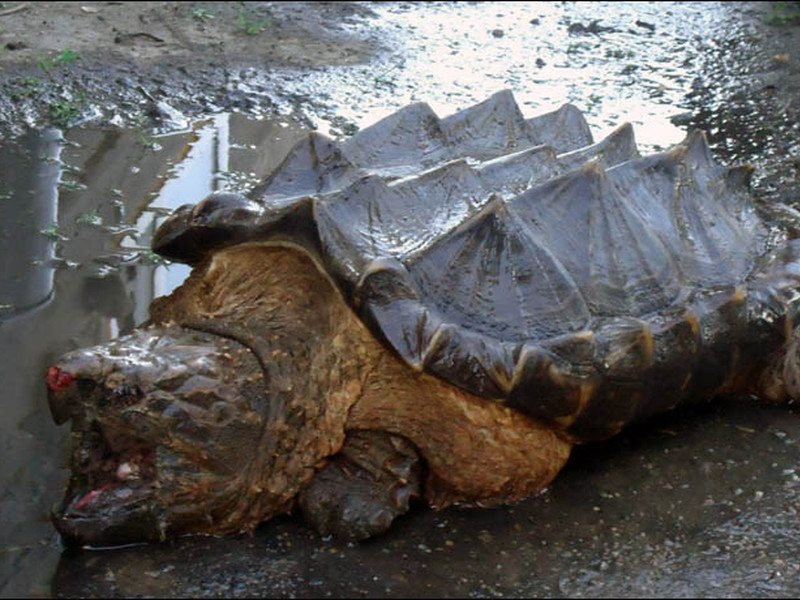 Real-life Bowser 'dinosaur turtle' found in Russian river