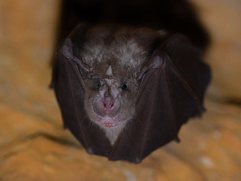 Festival of Curiosity names the lesser horseshoe bat as Dublin's minging mascot