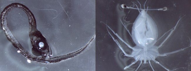 Idiacanthidae and Larval Lobster - Australia Volcano