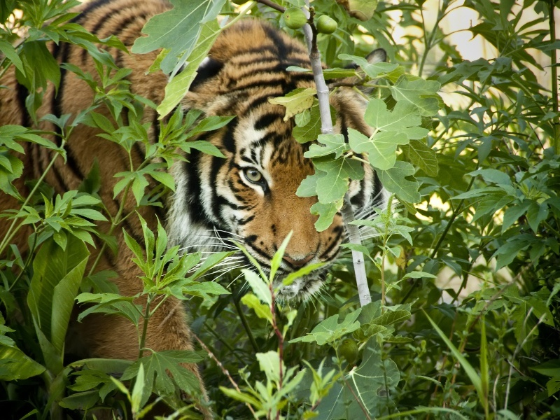 Tiger conservation: a game of inconsistent numbers