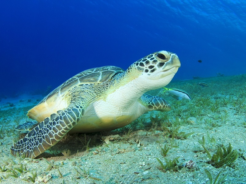 Turtle's Great Barrier Reef swim caught on camera