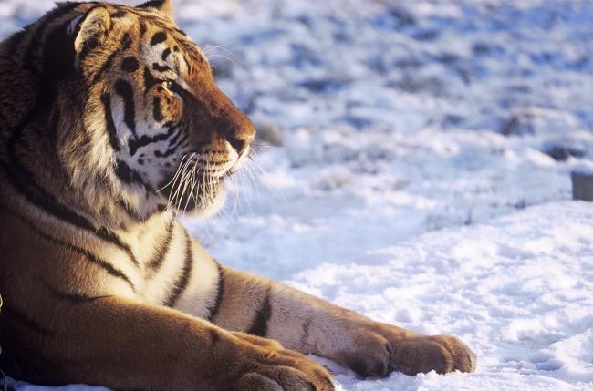 Siberian tiger | Tiger conservation