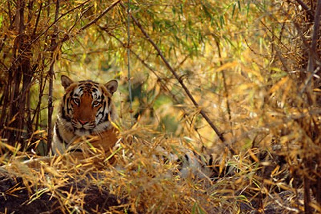 Tiger conservation| wild tiger