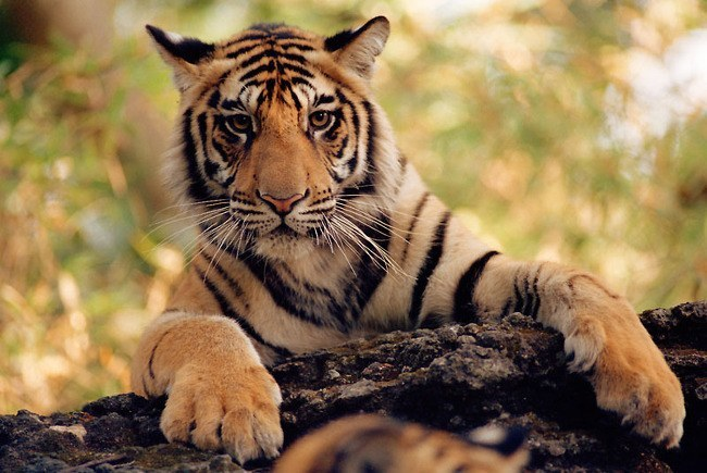 Tiger conservation in the wild