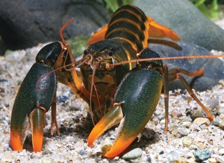 Edward Snowden crayfish species