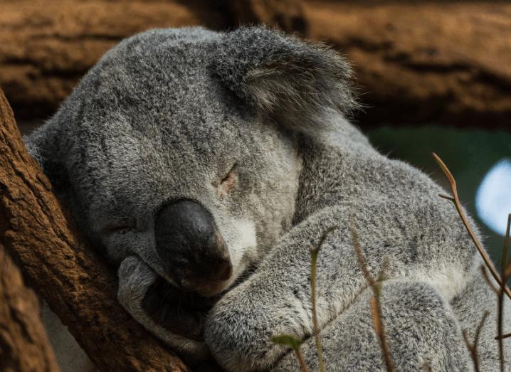 When animals attack funny: Koala bear
