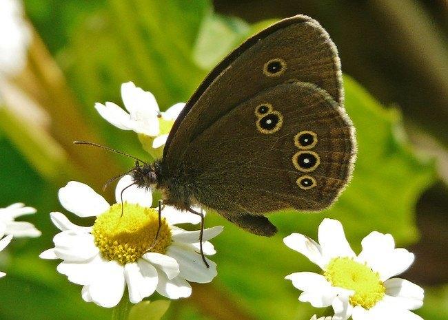 Butterflies extinction