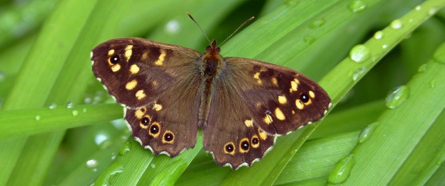 Butterflies extinction - speckled wood