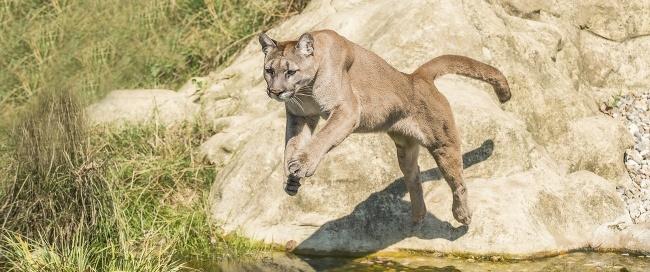 Cougar pouncing
