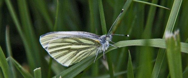 Butterflies extinction - Green-veined white