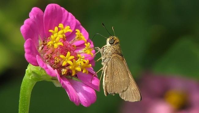 Butterflies extinction large_skipper