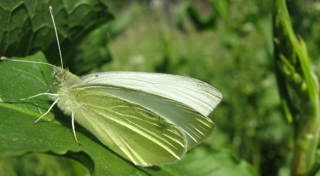 Butterflies extinction large_white cabbage