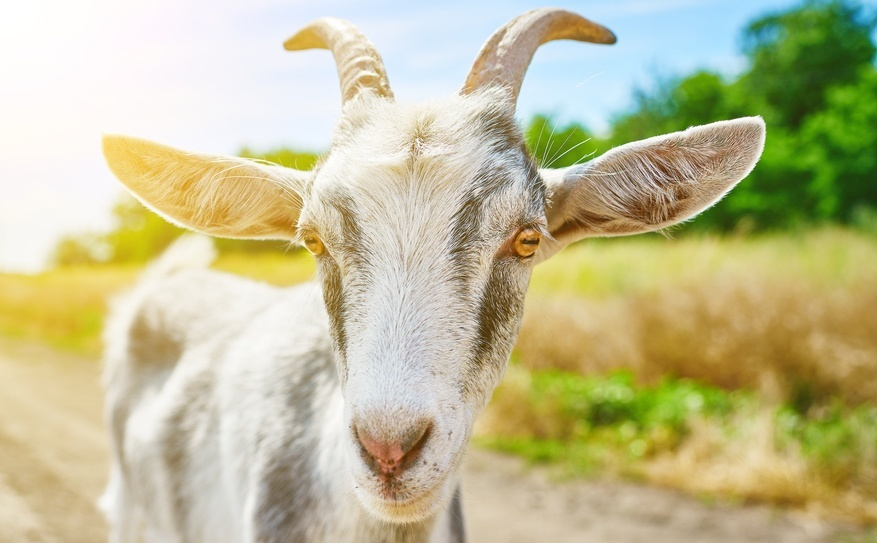 Goat eyes have horizontal pupils| animal pupils