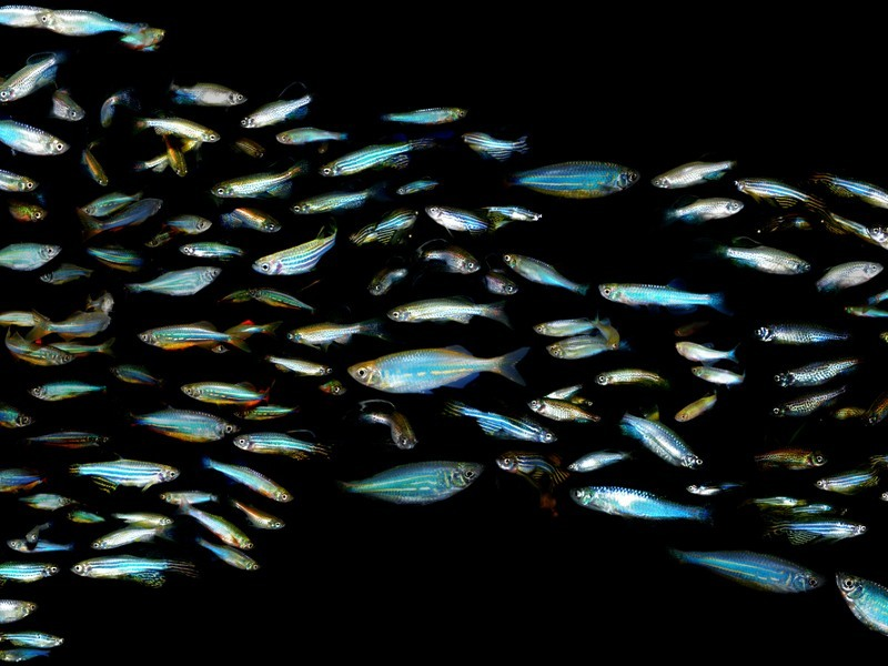Nanorobot microfish may one day be swimming in your blood